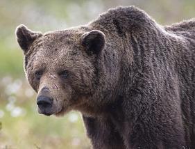 bear-281x214